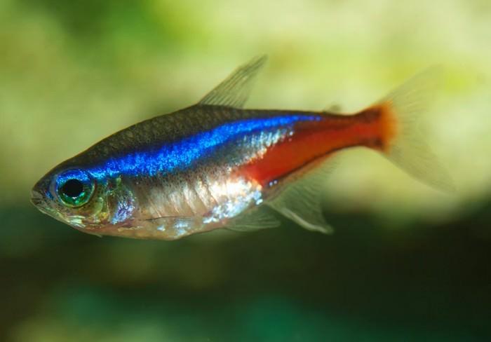 10 najlepszych ryb akwariowych dla początkujących