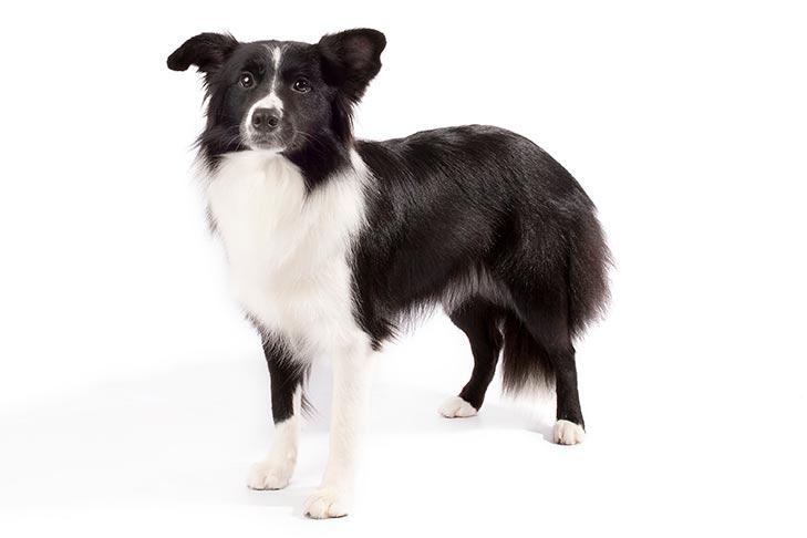 Border Collie - najlepsze psy rodzinne