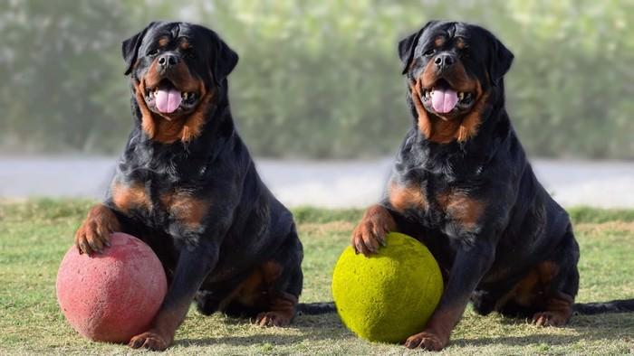 Rottweiler Wyszkolone rodzinne rasy psów