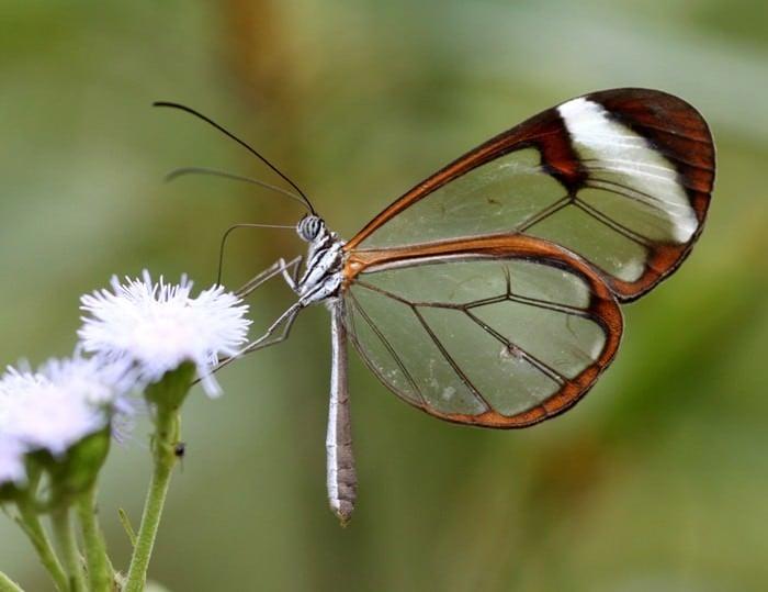 przezroczysty motyl