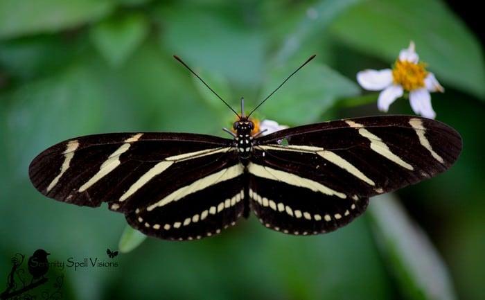 Motyl Zebra Longwing