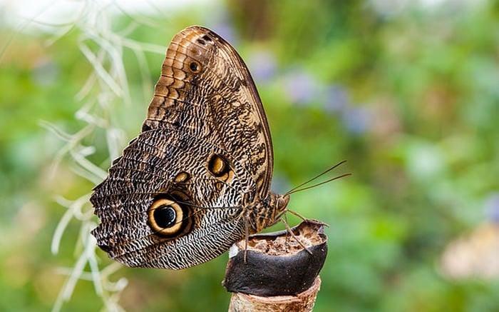 Gigantyczny motyl leśny sowa