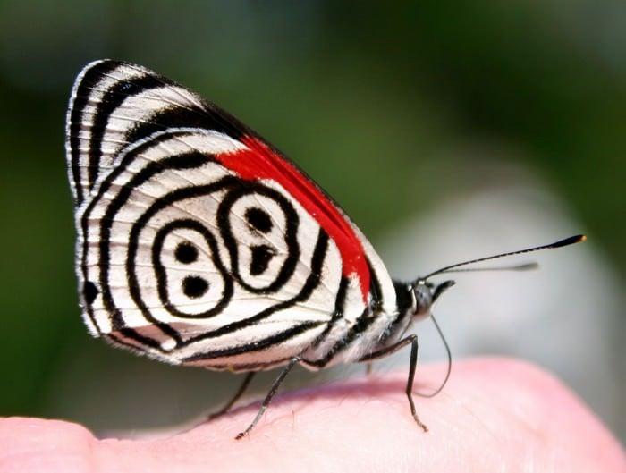 Osiemdziesiąt osiem motyli