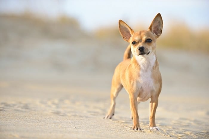 Rasy Psów. Lista 10 popularnych małych psów na świecie