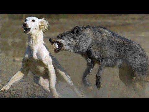 Nieoczekiwane spotkanie wilka z psem wzruszyło cały świat. A to dopiero początek!