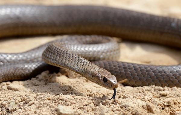Wąż brązowy wschodni
