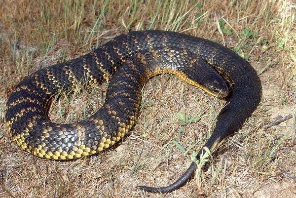 Wąż tygrysi najbardziej śmiercionośne węże