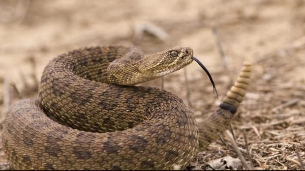 Najbardziej śmiercionośne węże grzechotnika