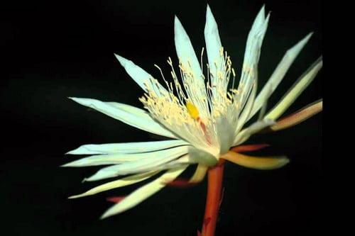 Kwiat Kadupul - bezcenne kwiaty