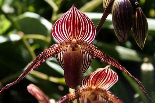 Złoto Orchidei Kinabalu